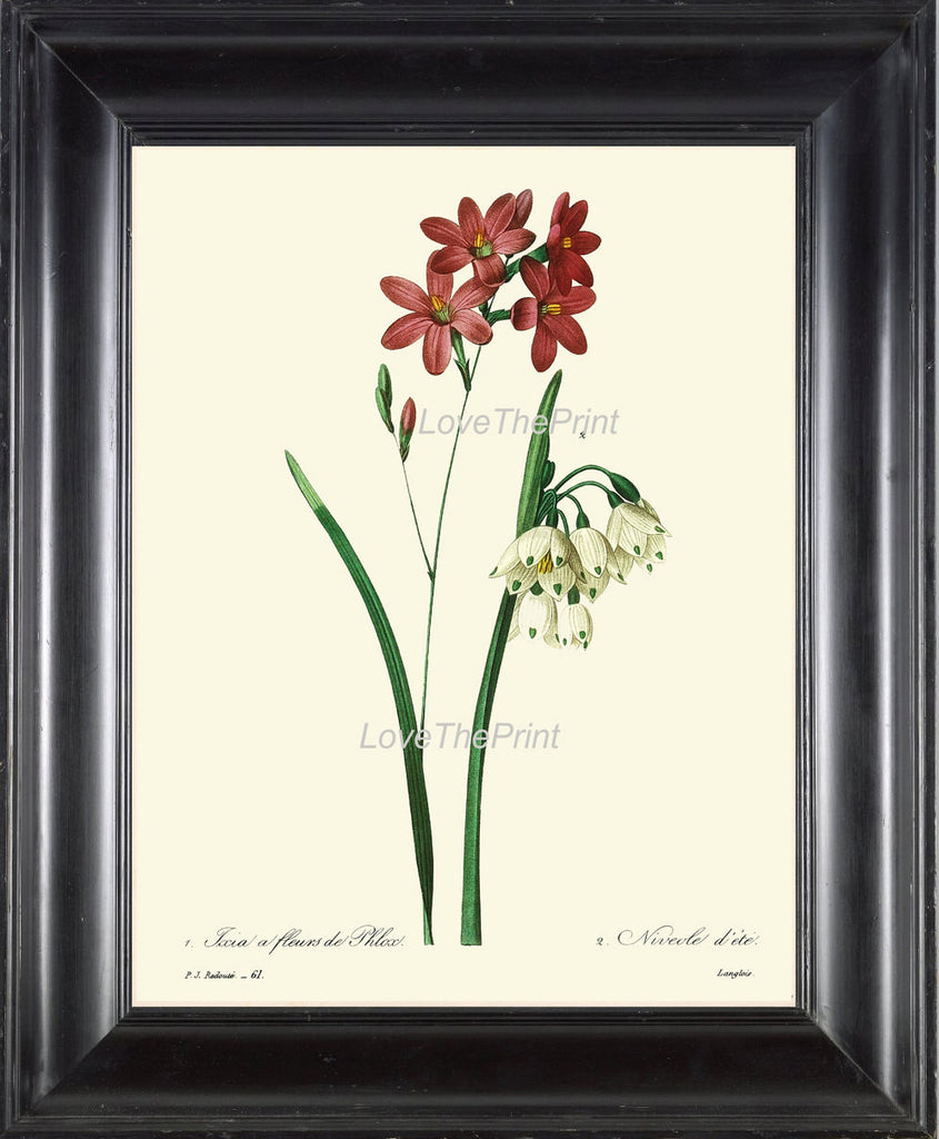 BOTANICAL PRINT Redoute Flower  Art 38 Beautiful Ixia Red White Antique Country Garden Nature Illustration Plate to Frame Home Decor