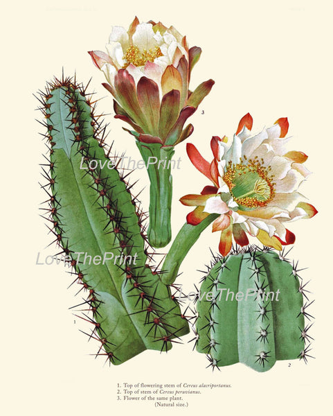 BOTANICAL PRINT  Art Print 11 Beautiful Cactus Large White Flowers Blooming Tropical Desert Illustration Greenhouse Home Decor to Frame