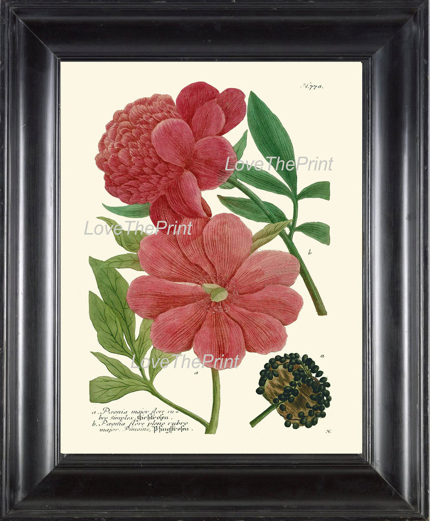 BOTANICAL PRINT  Art Print W40 Beautiful Peony Red Pink Large Antique Flowers Spring Summer Garden Nature Plants to Frame Home Decor