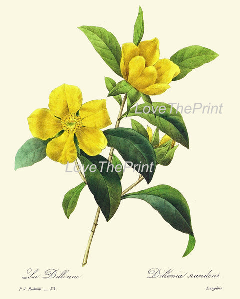 BOTANICAL PRINT Redoute Flower  Botanical Art Print 42 Beautiful Yellow Dillenia Tropical Rose Antique Nature to Frame Interior Design