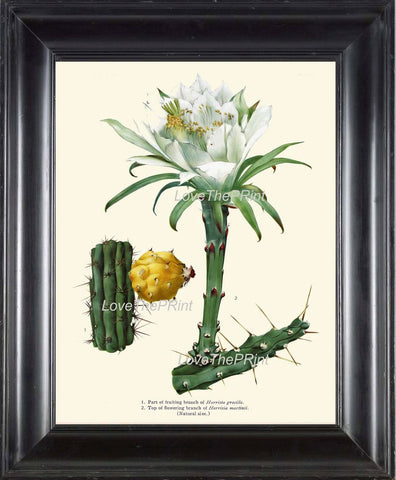BOTANICAL PRINT  Art Print 20 Beautiful Cactus Plant White Large Flower Tropical Illustration Tropical Nature Home Wall Decor to Frame