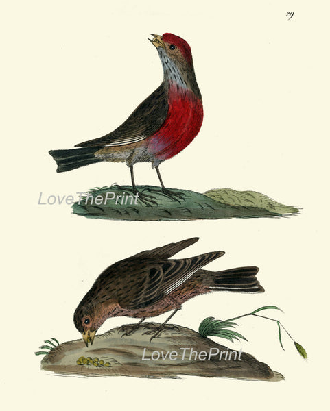 BIRD PRINT 8x10 Art B9 Beautiful Antique Red Headed Linnet Wall Hanging Home Living Room Interior Design Illustration Picture to Frame