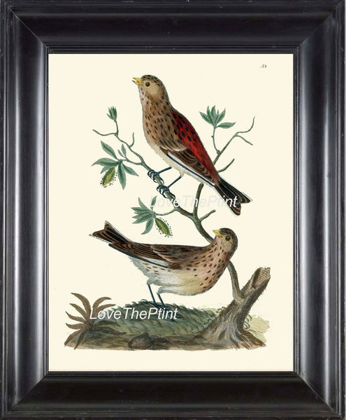 BIRD PRINT  Art B11 Beautiful Twite Twitter Antique Birds Nature Wall Hanging Home Room Interior Design Illustration Picture to Frame