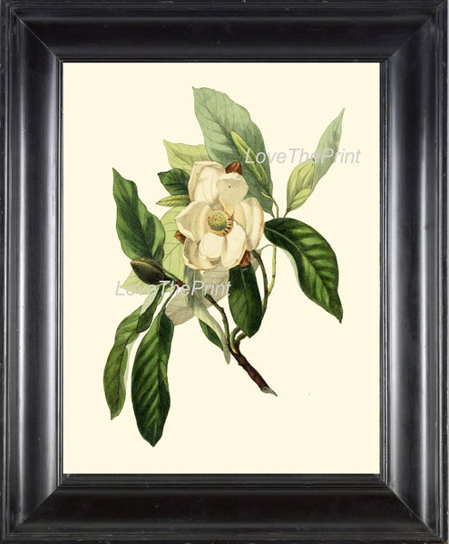 BOTANICAL PRINT Clarke  Botanical Art Print 9 Beautiful White Magnolia Flower Tree Branch Antique Spring Garden Home Wall Decor to Frame