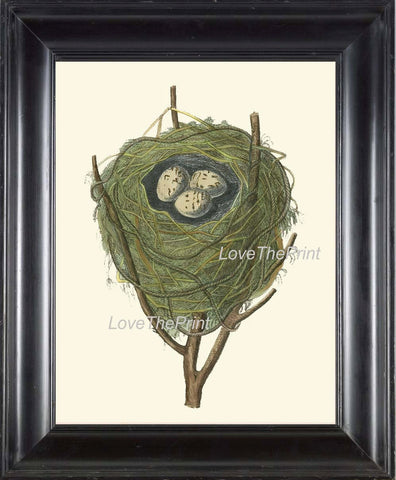 BIRD EGGS  Art B22 Beautiful Red Warbler Nest Antique Illustration Plate Forest Tree Branch Nature Home Room Wall Decor to Frame
