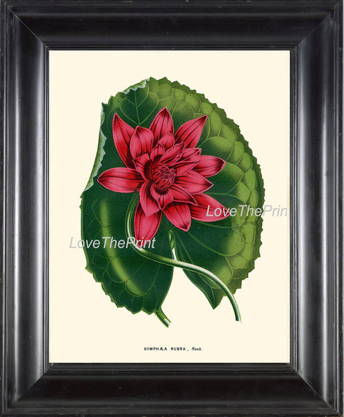 BOTANICAL PRINT HOUTTE  Art 131 Beautiful Large Water Lily Pink Red Leaf Lake Nature Plant Antique Ivory Room Wall Home Decor to Frame