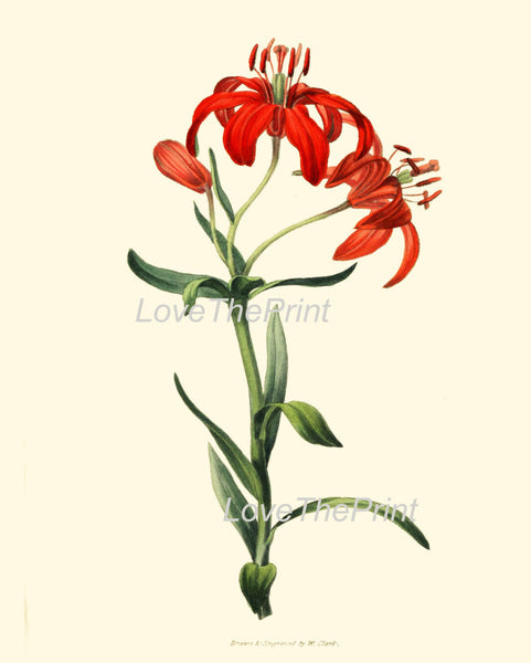 BOTANICAL PRINT Clarke  Botanical Art Print 23 Beautiful Morning Star Lily Orange Red Flowers Antique Garden Home Wall Decor to Frame