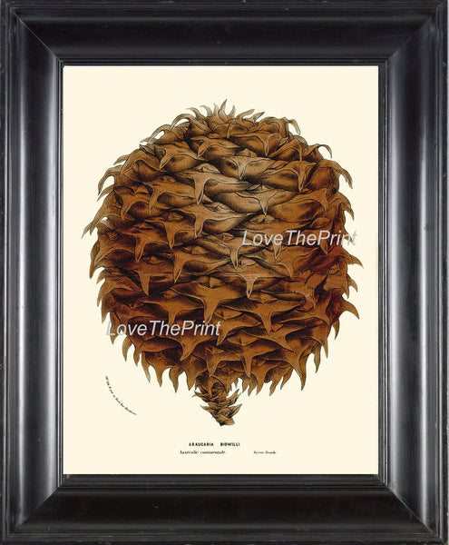 BOTANICAL PRINT HOUTTE  Art 86 Beautiful Large Pinecone Pine Tree Winter Forest Nature Christmas Cottage Home Room Wall Decor to Frame