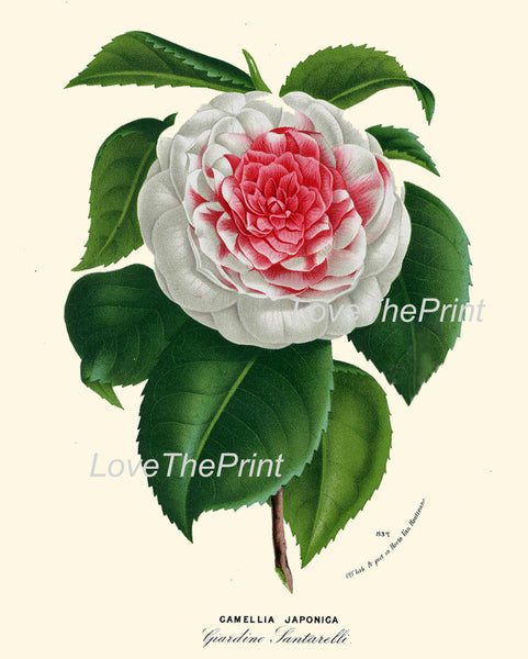BOTANICAL PRINT HOUTTE  Art 193 Beautiful White Pink Camellia Flower Plant Antique Spring Nature Home Decor Plate Picture Illustration
