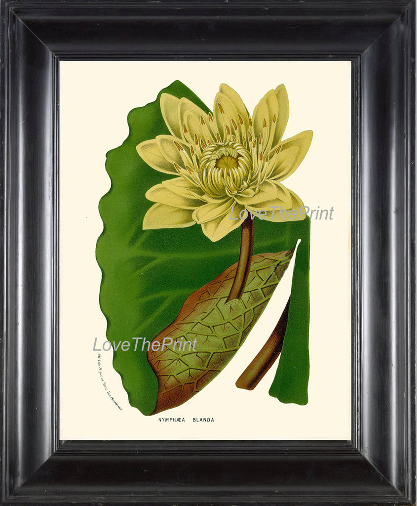 BOTANICAL PRINT HOUTTE  Art 132 Beautiful Large Water Lily Yellow Leaf Lake Nature Antique Ivory Country Cottage Interior Design Picture