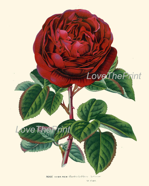 BOTANICAL PRINT HOUTTE  Art 133 Beautiful Large Red Rose Charles Lefebvre French Country Provencal Shabby Chic Home Wall Decor to Frame