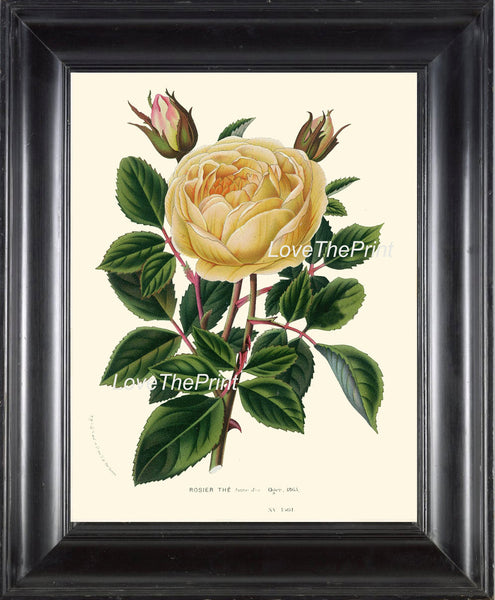 BOTANICAL PRINT HOUTTE  Art 142 Beautiful Large Golden Yellow Rose Rosebud Spring Summer Country Garden Cottage Bedroom Home Decor