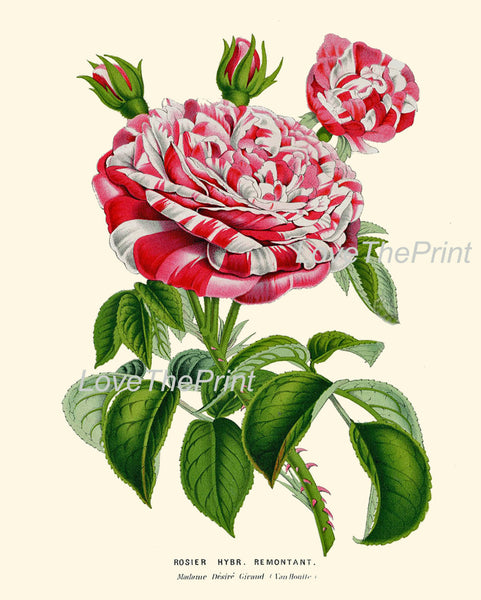 BOTANICAL PRINT HOUTTE  Art 138 Beautiful Large White Red Pink Rose Rosebuds Spring Summer Country Garden Home Wall Room Decor to Frame