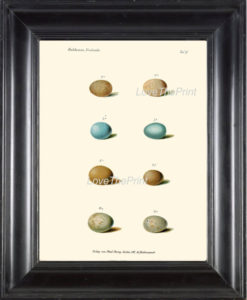 BIRD EGGS Print  Art B39 Beautiful Antique Bird Eggs in Beige Aqua Blue Chart Illustration Picture Wall Home Room Forest Nature to Frame