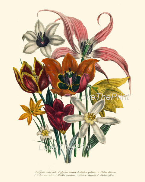 BOTANICAL PRINT Loudon Flower  Art 14 Beautiful Tulips Bouquet White Orange Red Yellow Antique Flowers Garden Nature Home Room Decor