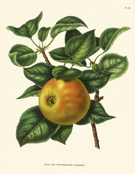 BOTANICAL FRUIT PRINT Wendel  Art 14 Beautiful Antique Apple Fruit Tree Dining Room Kitchen Home Wall Decor Illustration Plate to Frame