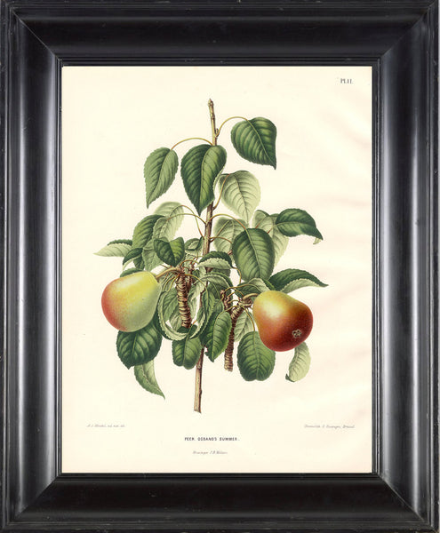 BOTANICAL FRUIT PRINT Wendel  Art 15 Beautiful Antique Pear Fruit Tree Dining Room Kitchen Home Wall Decor Illustration Plate to Frame