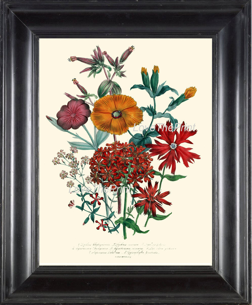 BOTANICAL PRINT Loudon Flower  Art 22 Beautiful Lychnis Orange Sherbet Spring Summer Garden Gift Home Room Decor Antique Illustration