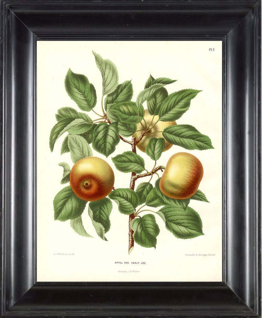 BOTANICAL FRUIT PRINT Wendel  Art 21 Beautiful Antique Apple Fruit Tree Dining Room Kitchen Home Room Garden Wall Decor Plate to Frame