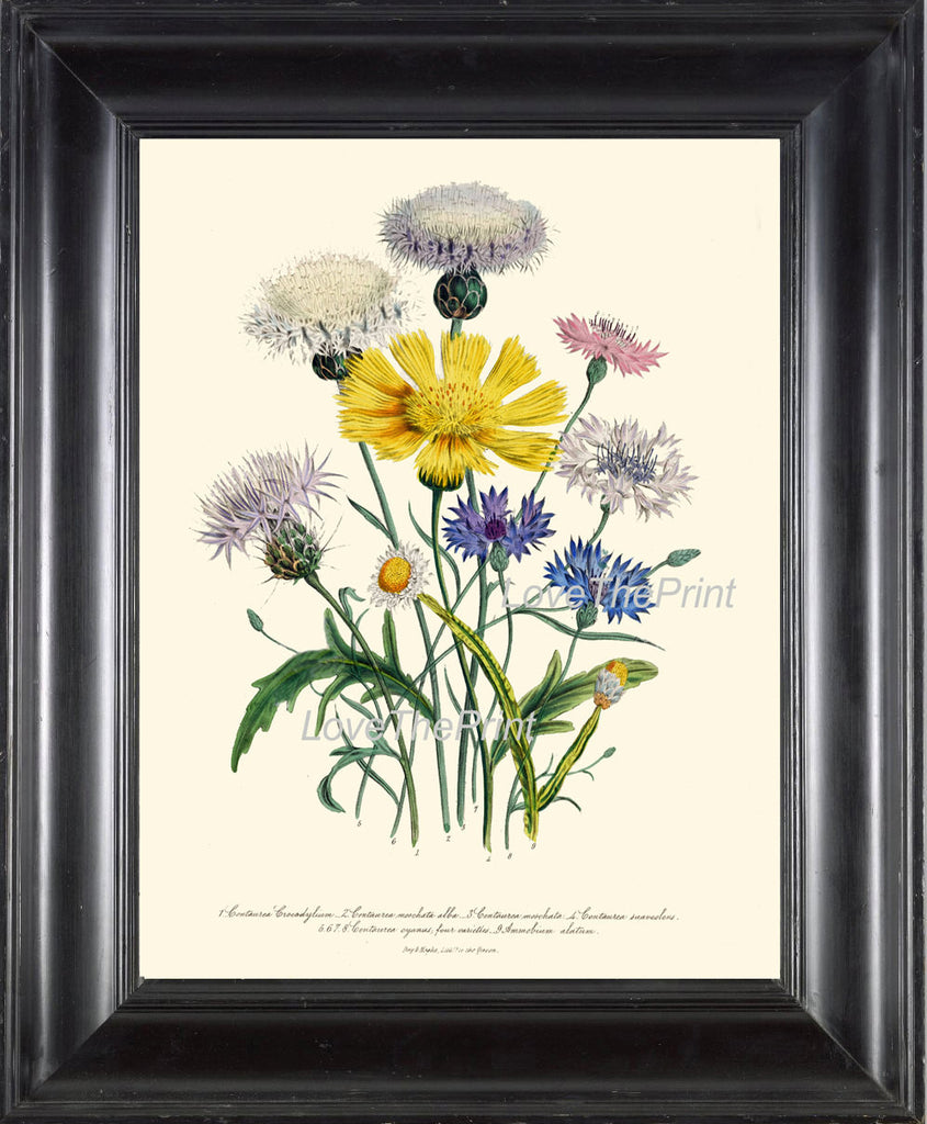 BOTANICAL PRINT Loudon Flower  Art 32 Beautiful Cornflower Blue Yellow Wildflower Country Farm Field Nature Flowers Home Decor to Frame