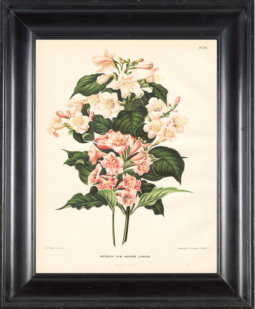 BOTANICAL PRINT Wendel  Art 47 Beautiful Weigela Pink White Antique Flowers Spring Summer Garden Plant to Frame Home Wall Room Decor