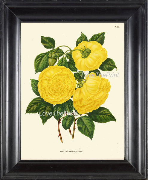 BOTANICAL PRINT Wendel 8x10 Art 51 Beautiful Large Yellow Roses Rose Plant Spring Summer Country Garden Shabby Chic Home Decor to Frame