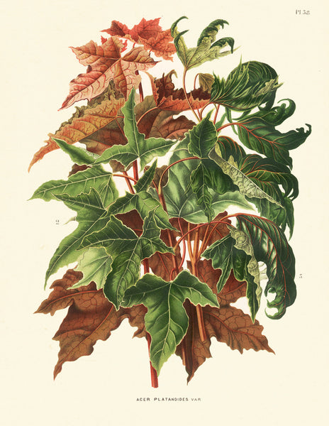 BOTANICAL PRINT Wendel  Art 10 Beautiful Norway Maple Fall Tree Branch Leaves Forest Nature Antique Illustration to Frame Home Decor