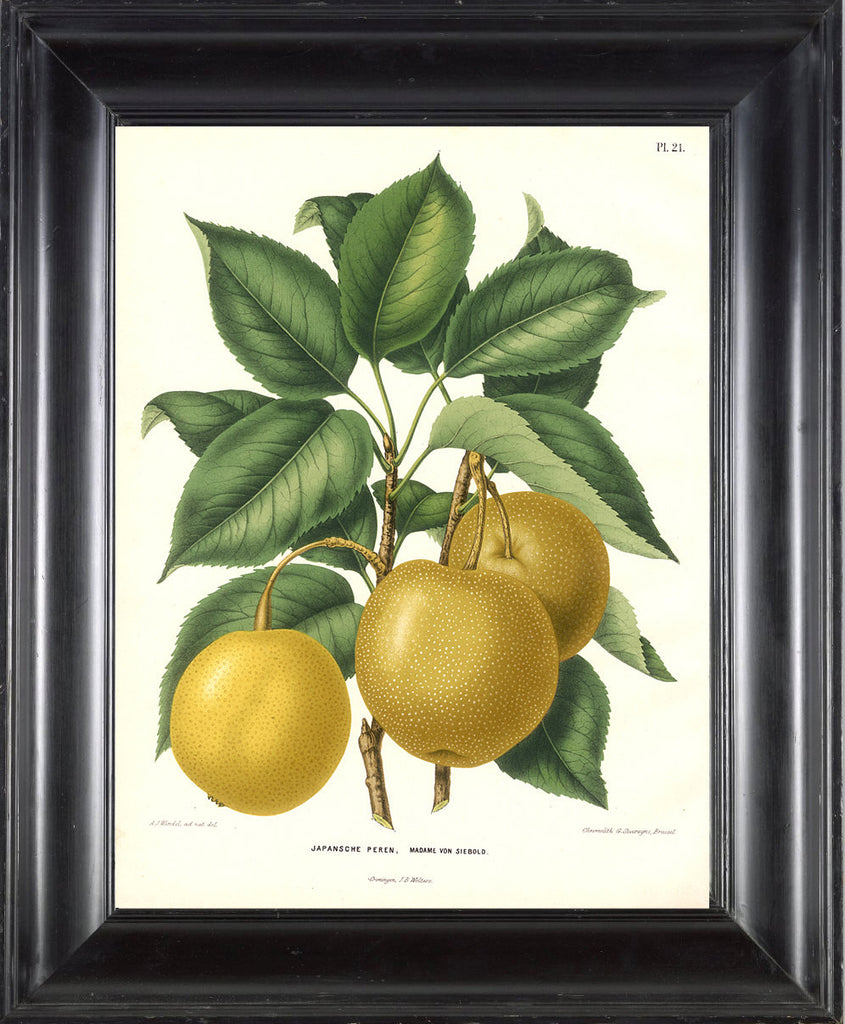 BOTANICAL FRUIT PRINT Wendel  Art 17 Beautiful Large Antique Apple Fruit Tree Dining Room Kitchen Home Wall Decor Illustration to Frame