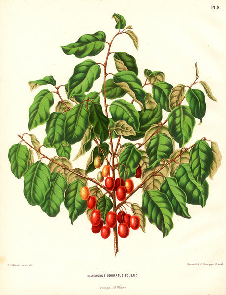 BOTANICAL PRINT Wendel 8x10 Art 19 Beautiful Silverberry Oleaster Red Berries Antique Illustration to Frame Home Decor Interior Design