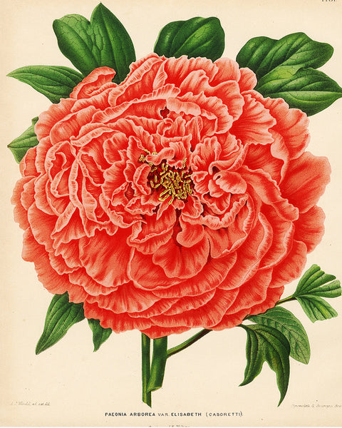 BOTANICAL PRINT Wendel  Art 52 Beautiful Large Peony Spring Summer Garden Nature Antique Plate Red Colorful Bright Wall Decor to Frame