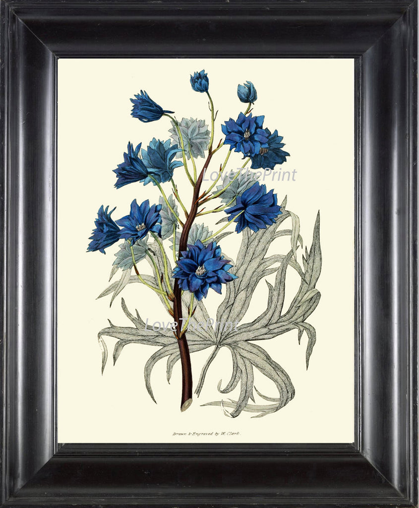 BOTANICAL PRINT Clarke  Art Print 37 Beautiful Blue Delphinium Garden Flower Antique Picture Plate Drawing Wall Room Decoration to Frame