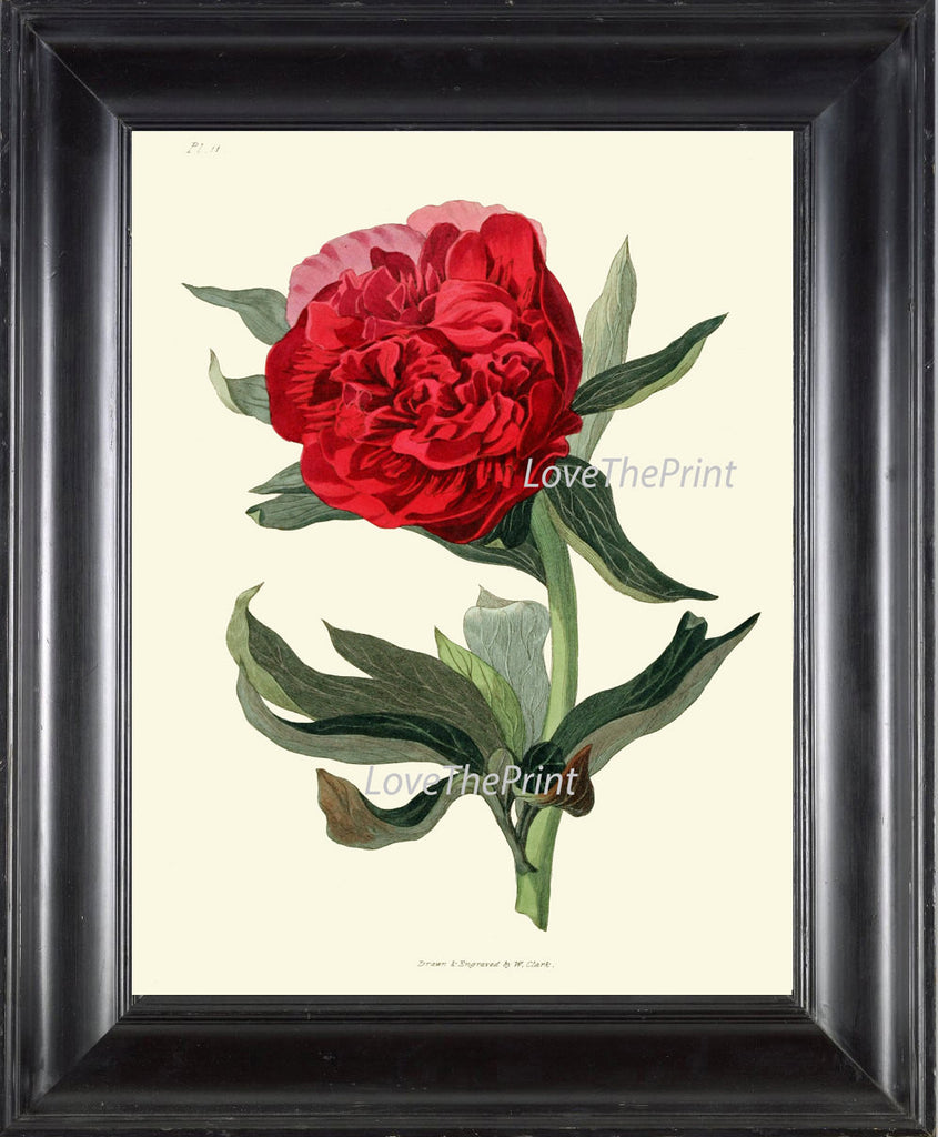 BOTANICAL Flower PRINT Clarke  Art Print 11 Beautiful Red Peony Living Dining Room Bedroom Wall Home Decoration Interior Design
