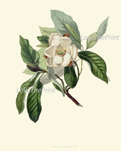 BOTANICAL Flower PRINT Clarke  Art Print 9 Beautiful Sweet Bay White Bay Leaf Tree Laurel Herb Spice Cooking Kitchen Dining Room Decor