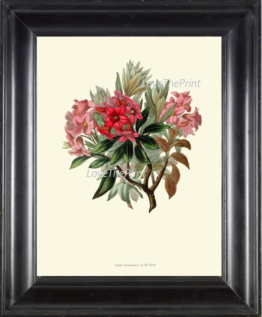 BOTANICAL Flower PRINT Clarke  Art Print 46 Beautiful Rhododendron Pink Red Wildflower Nature Plant Antique Illustration Decor to Frame