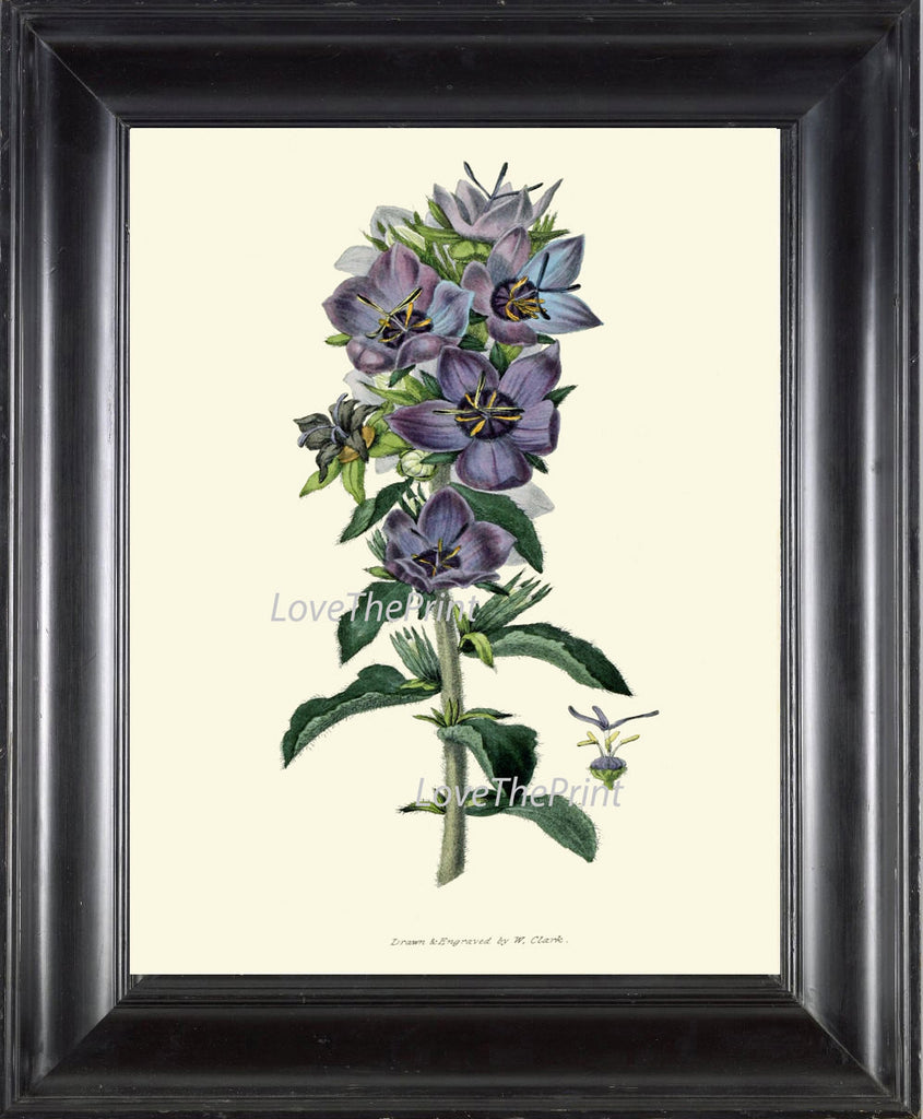 BOTANICAL PRINT Clarke  Art Print 42 Beautiful Blue Violet Campanula Wildflower Country Garden Green Plant Home Room Wall Decoration