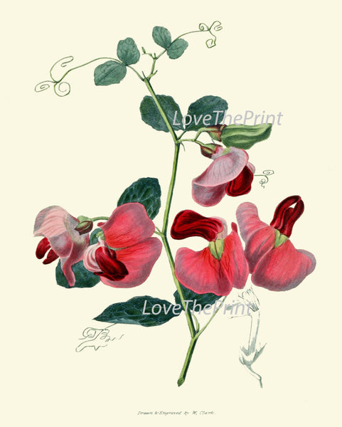 BOTANICAL PRINT Clarke  Art Print 43 Beautiful Pink Everlasting Pea Spring Summer Garden Plant Flower Antique Interior Design Home Decor