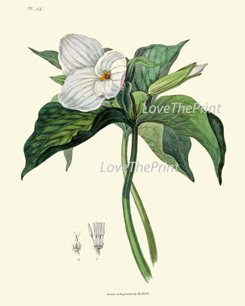 BOTANICAL PRINT Clarke  Art Print 48 Beautiful White Trillium Flower Wildflower Antique Chart Illustration Green Nature Home Wall Decor