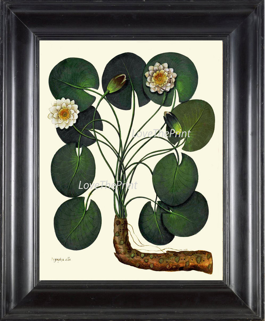 ITALIAN Waterlily Print Aldrovandi  Art 44 Botanical Antique Beautiful Rooted White Water Lily Flower Plant Green Leaves Home Nature