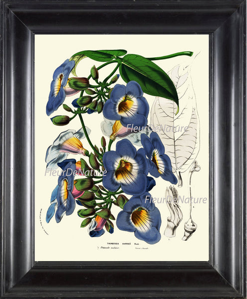 BOTANICAL PRINT HOUTTE  Art Print 22 Beautiful Blue Sky Vine Plant Antique Flowers Spring Summer Garden Home Wall Room Decor to Frame
