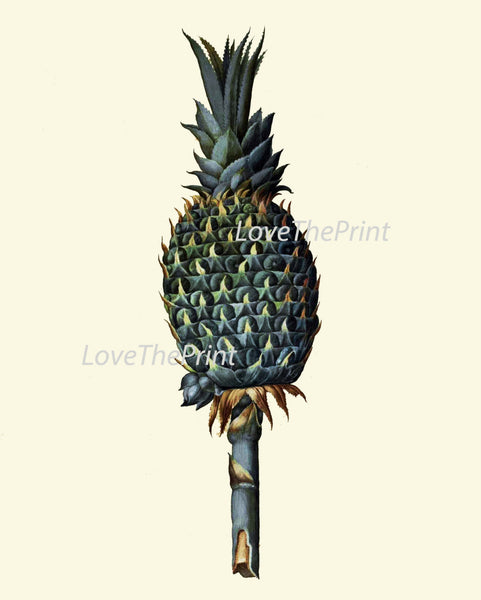 ITALIAN Fruit Print Aldrovandi  Art 46 Antique Beautiful Green Pineapple Tropical Garden Nature Island Home Cottage Decor Decoration