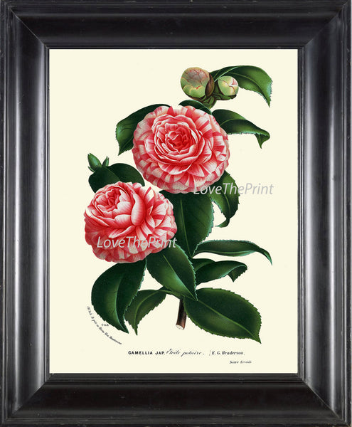 BOTANICAL PRINT HOUTTE  Art Print 178 Beautiful Pink White Camellia Antique Colored Colorful Illustration Botany Spring Summer Garden