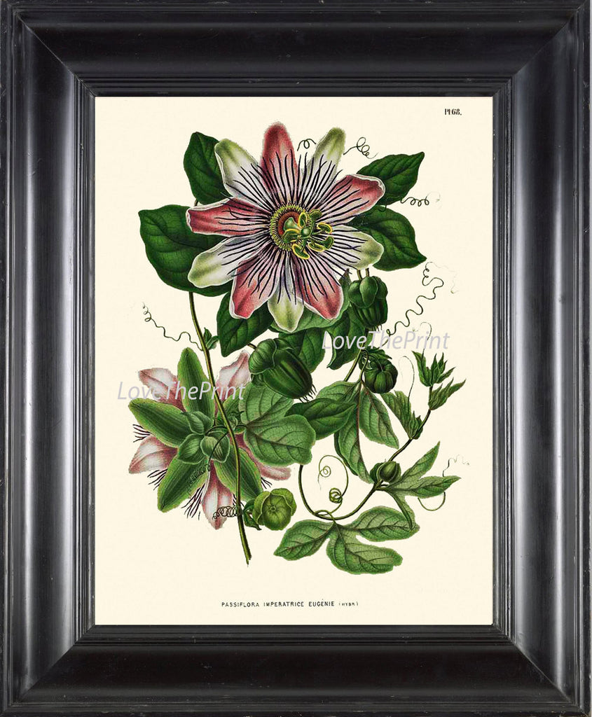 BOTANICAL PRINT WITTE  Art 51 Antique Passion Fruit Flower Tropical Nature Wall Home Decor to Frame Illustration Natural Science Chart