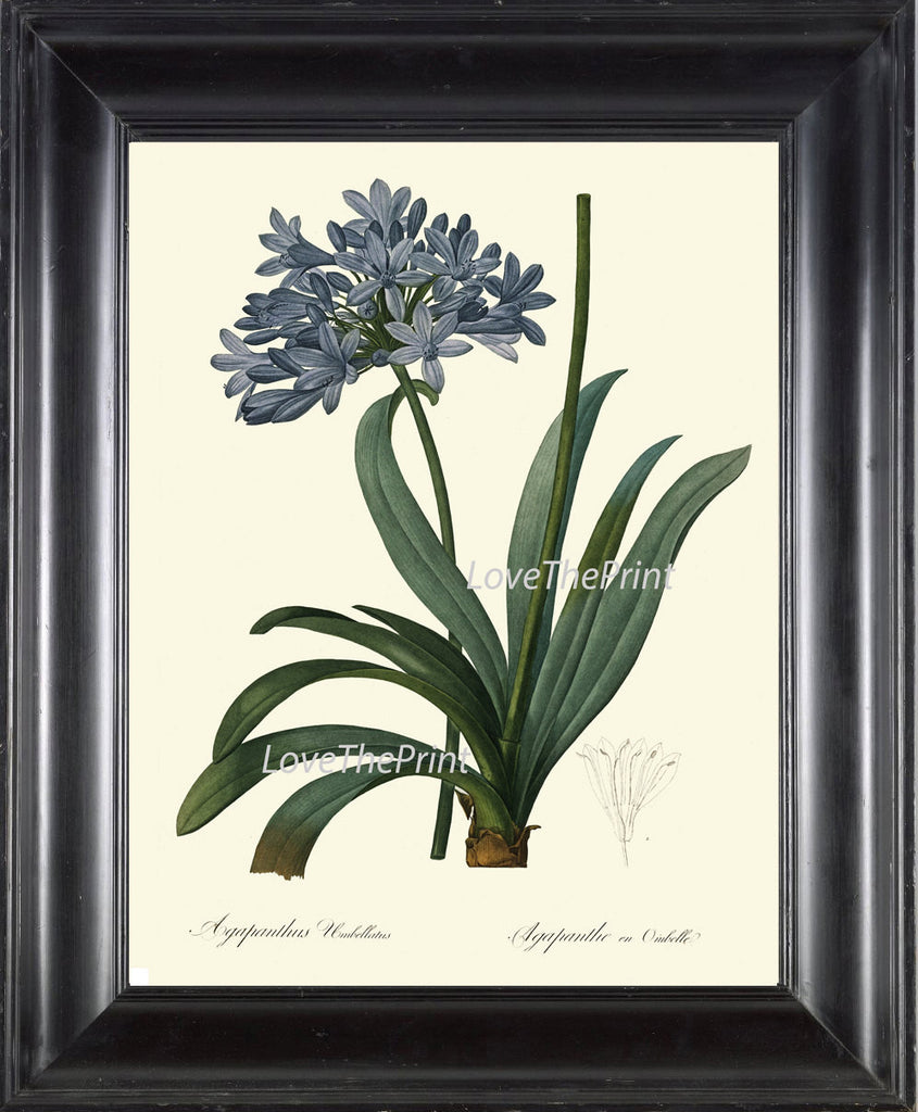 BOTANICAL Art PRINT 238 Redoute Flower  Beautiful Blue Large Agapanthus Plant California Antique Nature to Frame Interior Design
