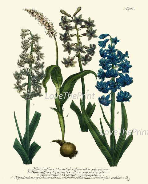 BOTANICAL PRINT  Art W14 Beautiful Antique Blue White Hyacinth Flower Spring Summer Garden Plant Chart Nature to Frame Interior Design