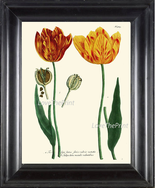 BOTANICAL PRINT  Art W25 Beautiful Antique Red Yellow Tulips Flower Spring Summer Garden Plant Chart Vintage to Frame Interior Design