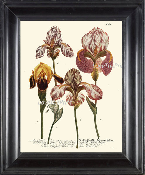 BOTANICAL PRINT  Art W9 Beautiful Antique Pink Iris Flowers Spring Summer Garden Plant Chart Vintage Home Room Wall Decor Decoration