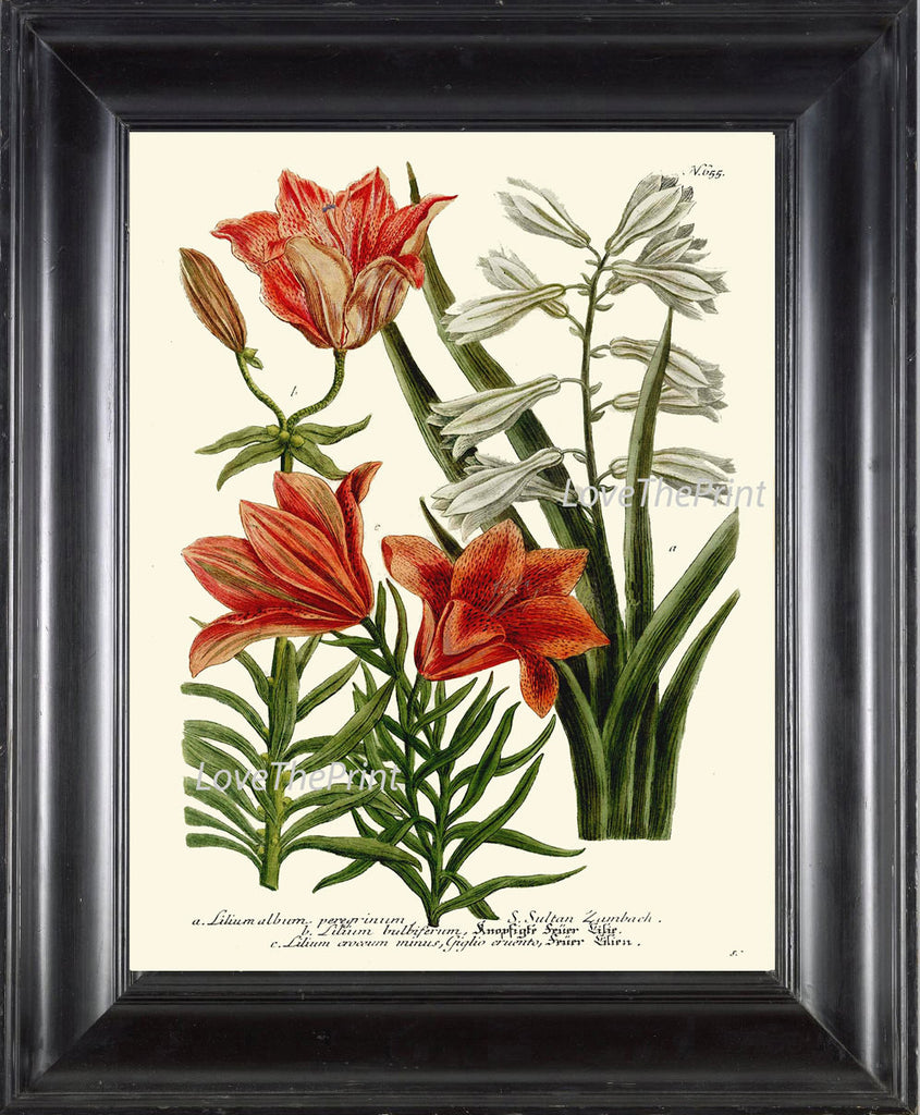 BOTANICAL PRINT  Art W35 Beautiful Antique Orange White Lily Flowers Spring Summer Garden Plant Chart Vintage Home Wall Decor Decoration