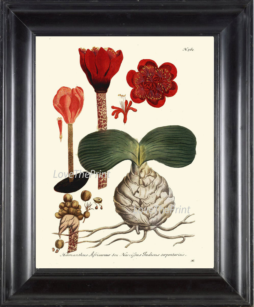 BOTANICAL PRINT  Art W12 Beautiful Red Flowers Seeds Bulb Tropical Plant Chart Vintage Home Room Wall Decor Decoration