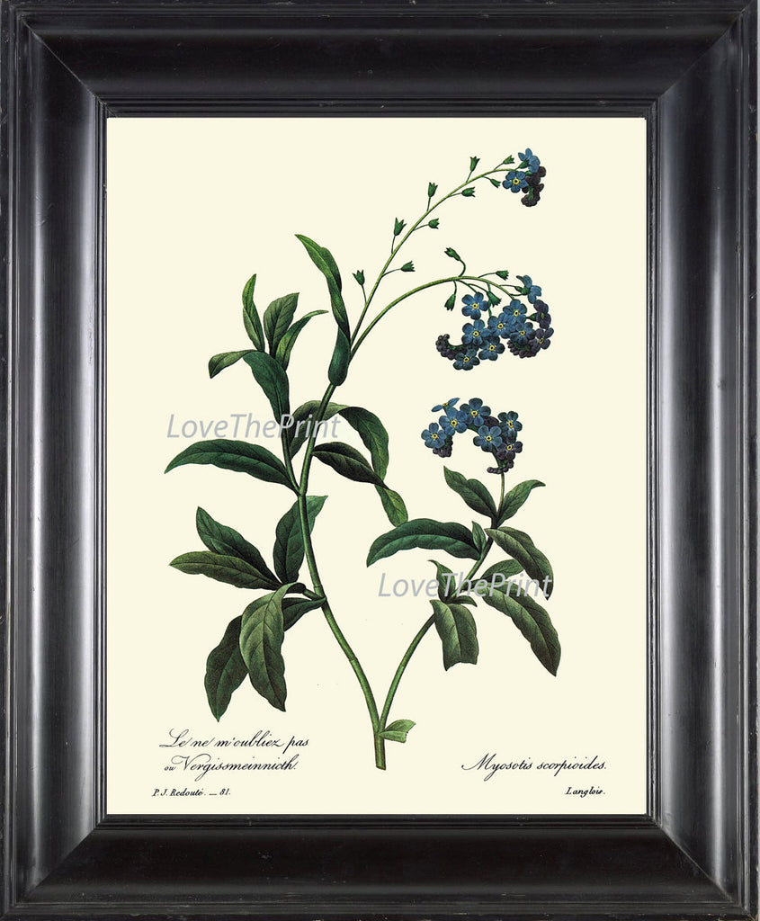 BOTANICAL PRINT Redoute Flower  Art Print 60 Beautiful Blue Forget-me-not Small Flowers Plant Garden Nature to Frame Home Decor