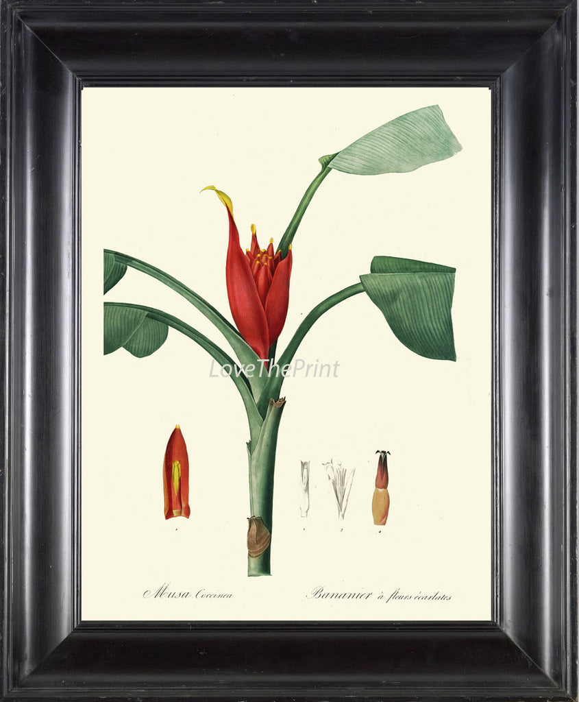 BOTANICAL PRINT Redoute  Art 160 Beautiful Tropical Banana Tree Musa Plantain Fruit Antique Wall Home Plant to Frame Kitchen Dining Room